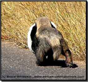 Adult Badger carrying a baby Badger