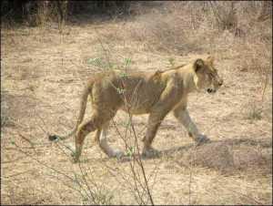 Lion cub picture
