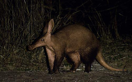 Aardvark Picture