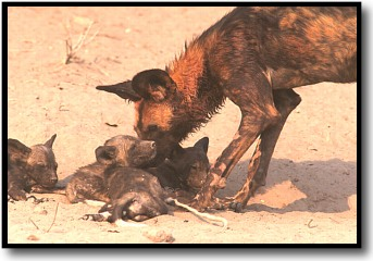 African wild dog with pups
