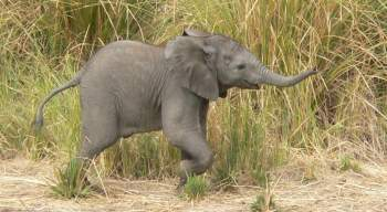 Baby elephant - South Luangwa, Zambia
