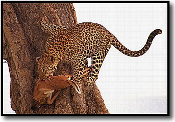 Leopard doing a balancing act