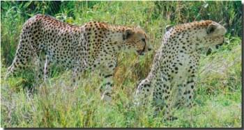 Cheetah in the masai mara national park