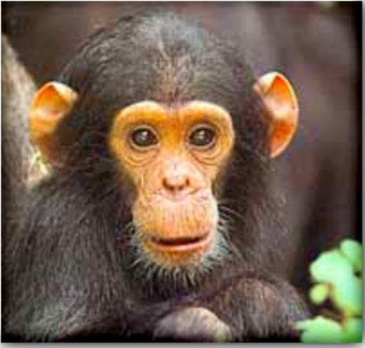 chimpanzee pictures