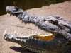 Crocodile jaws agape