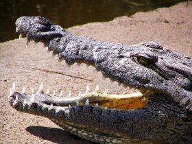 Crocodile showing teeth