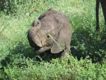 Elephant calf learning to use its trunk