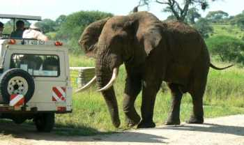 African elephant charging safari vehicle in Tanzania