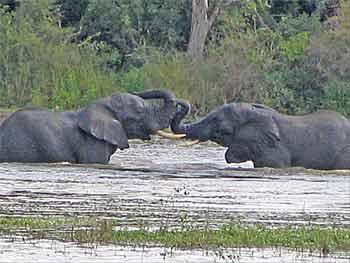 elephant swim