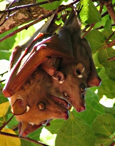 Epauletted fruit bat with baby