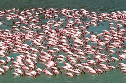 Flamingo flock at Nogorongor Crater