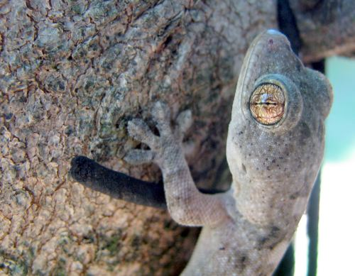 Gecko clinging to a tree