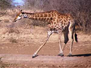 Giraffe getting ready to drink - photo: Bruce Whittaker