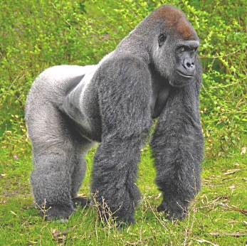 Huge silverback gorilla