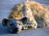 Hyena lying down