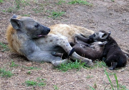 Hyena mom and pups