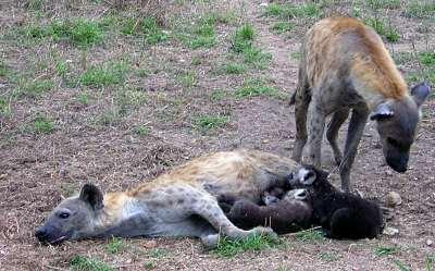 hyena pups drinking milk