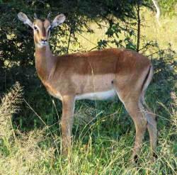 Impala picture