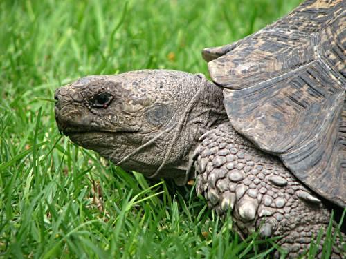 Karoo tortoise