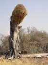 Large weaver nest