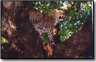 Leopard picture
