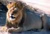 Lion at a waterhole