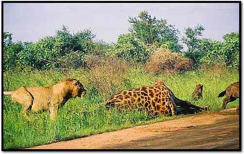 Lion Chasing