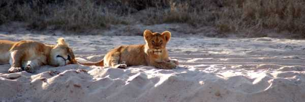 Lion cub and mum at Edeni