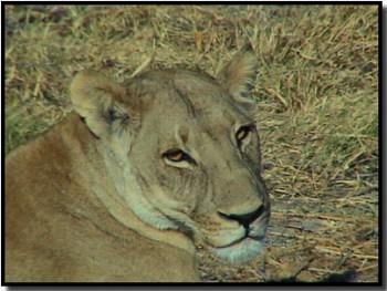 lion romancing