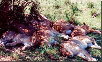 lions napping