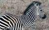 Lower Zambezi baby zebra