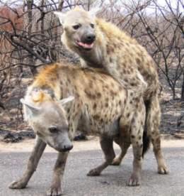 Mating hyenas