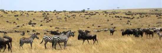Migration in the Masai Mara, Kenya