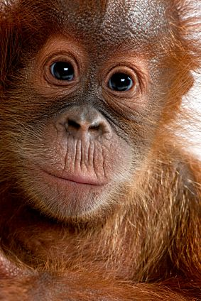 Orangutan Pictures