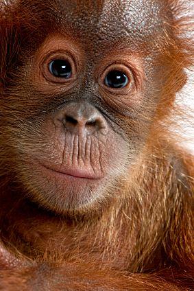 "Obrázek ""http://www.african-safari-journals.com/image-files/orangutan-pictures.jpg"" nelze zobrazit, protože obsahuje chyby."