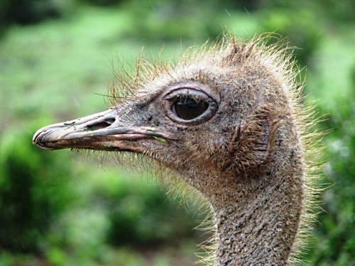 Ostrich picture