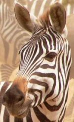 Close up of plains zebra
