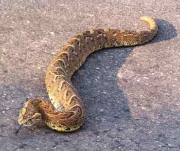 Puff adder snake on the road