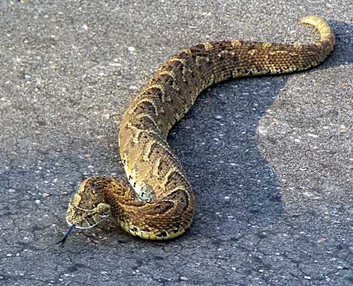 Puff Adder crossing the road
