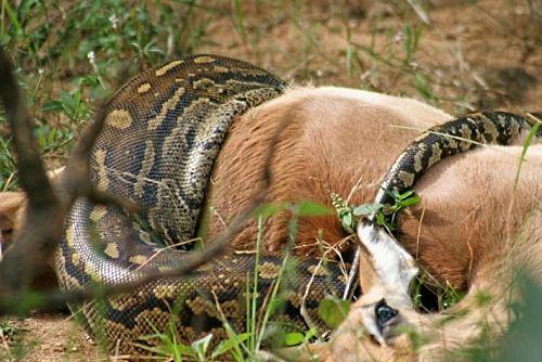 Python constricting an impala