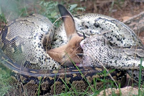 Python swallowing an impala