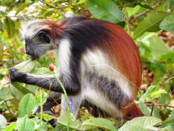 Red colobus monkey in Zanzibar