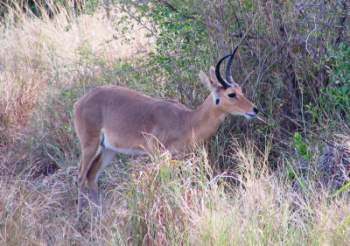 Common reedbuck