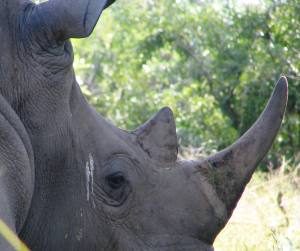 Sleepy white rhino