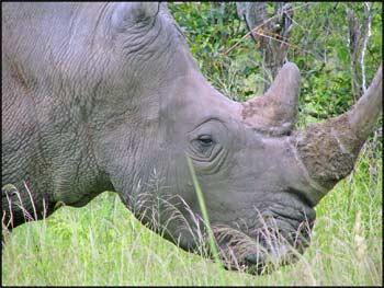 white rhino stare