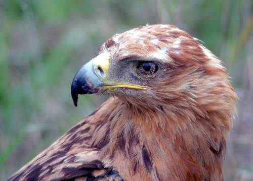 Tawny Eagle Picture