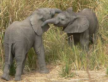 Two elephant calves - South Luangwa, Zambia