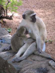 Vervet monkey picture