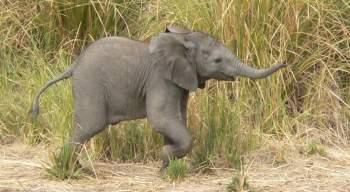 Baby elephant - South Luangwa, Zambia