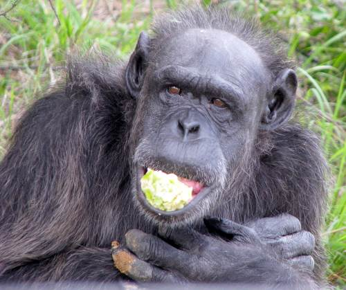 Chimpanzee photos